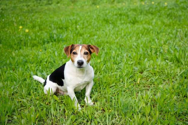 Cão fofo senta-se na grama verde