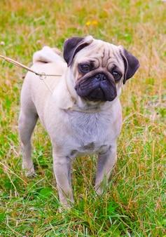 Cão fulvo pug raça na grama verde no verão