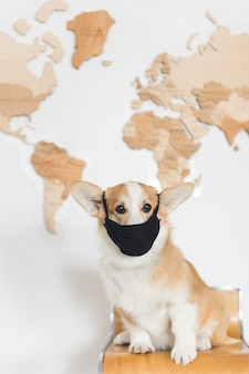 Cão galês corgi na máscara sente-se no mapa de madeira.