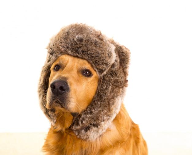 Cão goden retriever com boné de pele de inverno engraçado