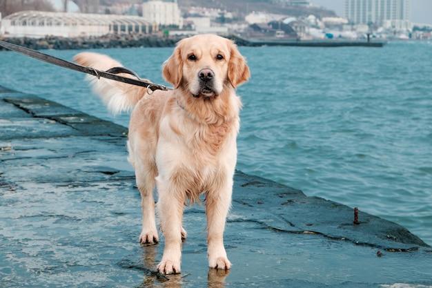 Cão golden retriever lindo na beira-mar