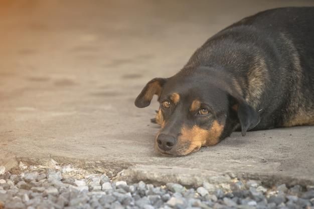 Cão gordo preto deitou no chão.
