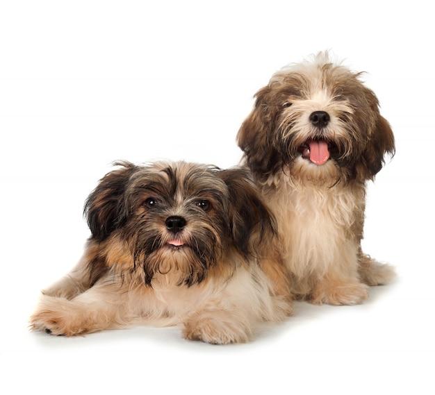 Cão havanese feliz dois isolado