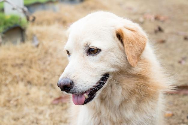 Cão híbrido de cor marrom, à espera do proprietário
