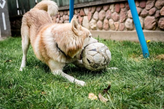 Cão husky brincando na grama verde com uma bola de futebol.