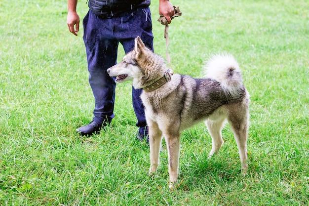 Cão husky cinza (laika) em uma caminhada no campo com seu dono durante a chuva_
