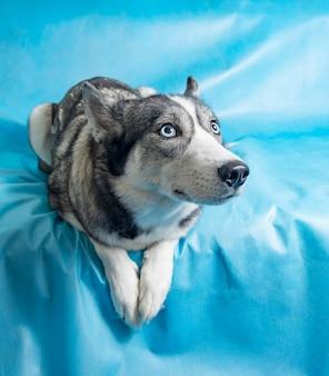 Cão husky cinzento e branco com olhos azuis