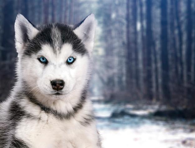Cão husky de retrato preto e branco no fundo da floresta de inverno