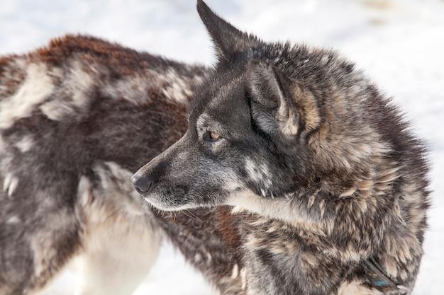 Cão husky durante a muda