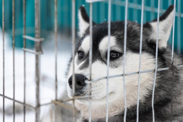 Cão husky em gaiola transportadora, à espera de proprietário para o transporte para a competição de cães de trenó