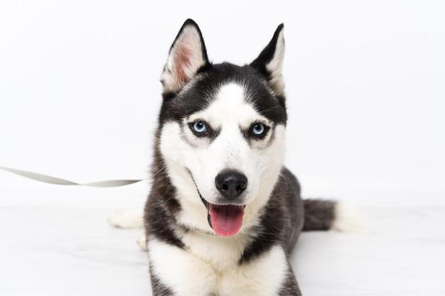 Cão husky jovem sobre parede branca