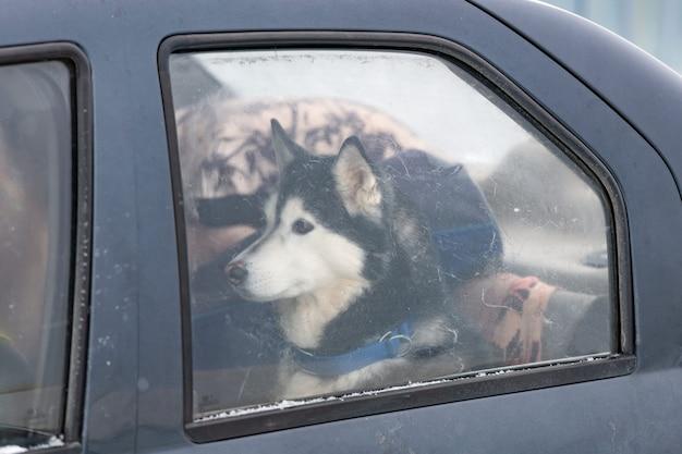 Cão husky no carro, animal de estimação bonito. cachorro esperando para caminhar antes do treinamento e da corrida do cão de trenó.