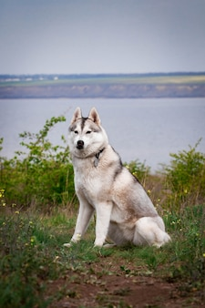 Cão husky siberiano. as árvores e a grama verde-clara estão no fundo. husky está sentado na grama. retrato de um fim do cão de puxar trenós siberian acima. cachorro na natureza. ande com um cão husky.