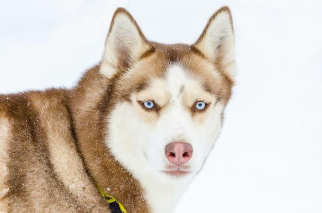 Cão husky siberiano com olhos azuis. cão husky tem cor marrom casaco.