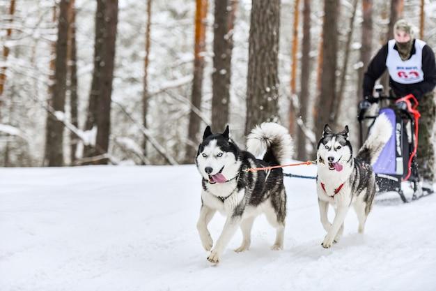 Cão husky siberiano de corrida na neve