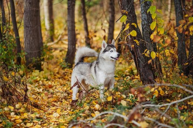 Cão husky siberiano de olhos azuis fica na floresta de outono