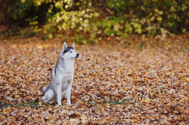 Cão husky siberiano de olhos azuis, sentado no parque outono
