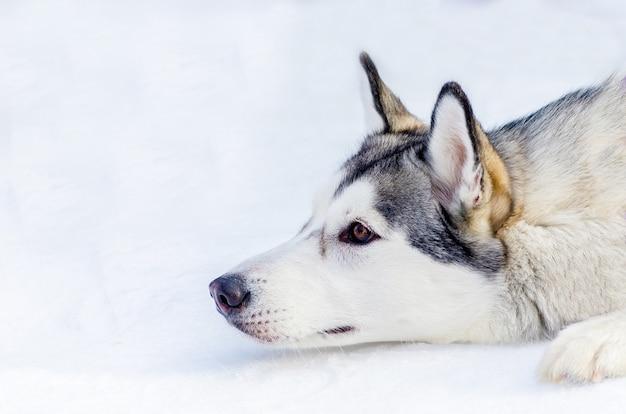 Cão husky siberiano deitado na neve