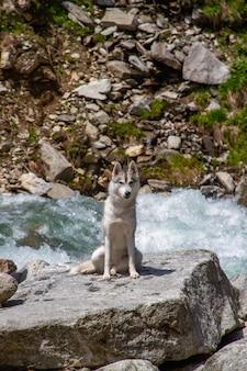 Cão husky siberiano em pé na margem do rio
