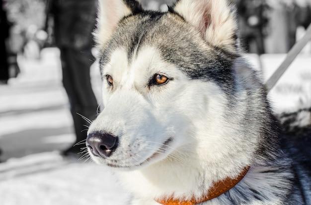 Cão husky siberiano. olhos castanhos. cão husky tem cor preto e branco casaco.