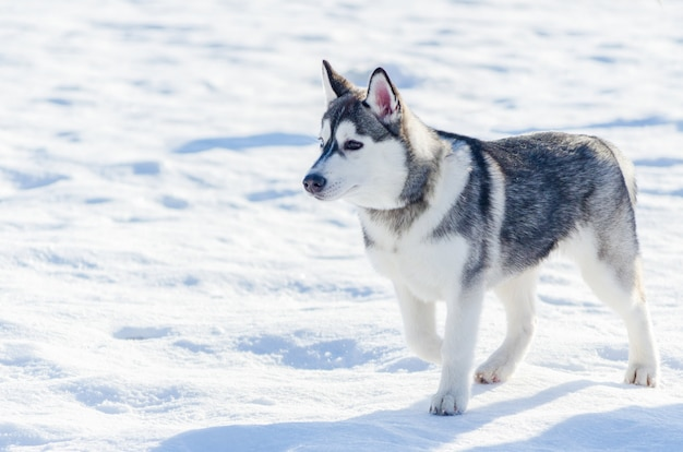 Cão husky siberiano pequeno passeio ao ar livre