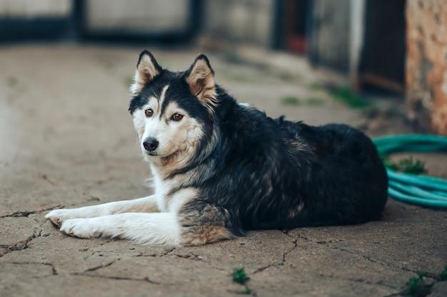 Cão husky siberiano preto e branco com olhos castanhos deitado no quintal em casa, 8 anos de idade nevoeiro