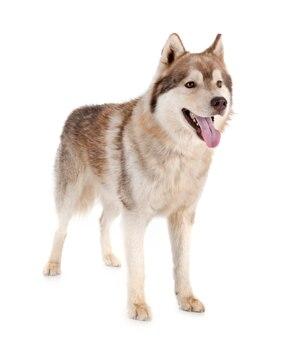 Cão husky siberiano
