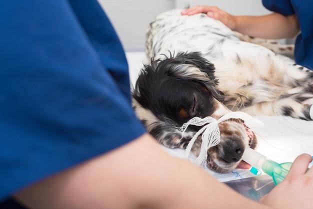 Cão intubado em sala de cirurgia de clínica veterinária