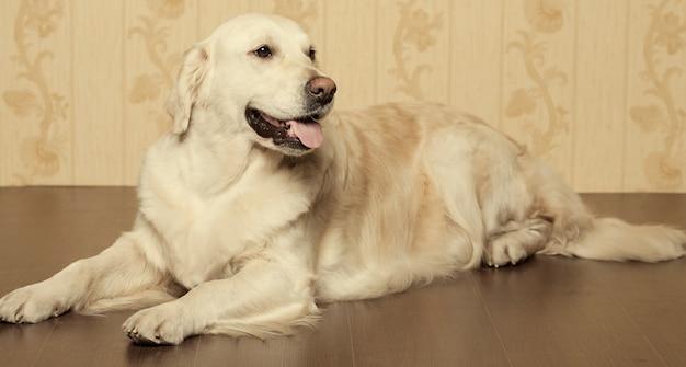 Cão jovem bonito retriever dourado fotografado em casa