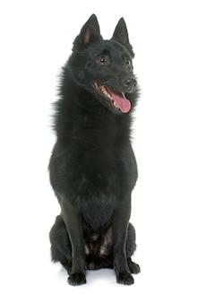 Cão jovem schipperke