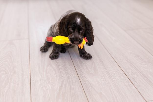 Cão jovem springer spaniel brincando com um brinquedo no chão em casa.