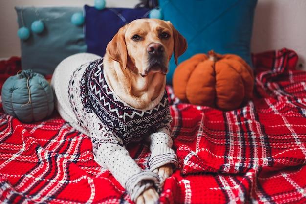 Cão labrador com uma camisola de natal deitado sobre o cobertor vermelho