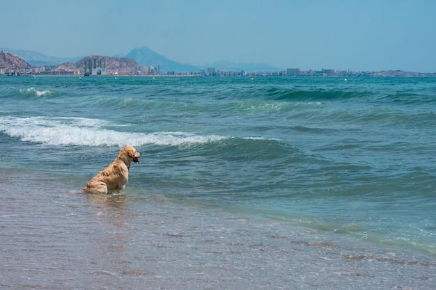 Cão labrador joga e se diverte na praia