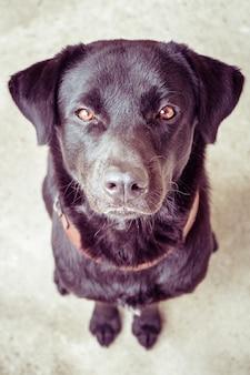 Cão labrador preto com estilo vintage retro do efeito do filtro