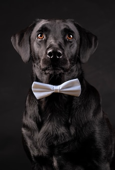 Cão labrador preto com olhos laranja com gravata borboleta