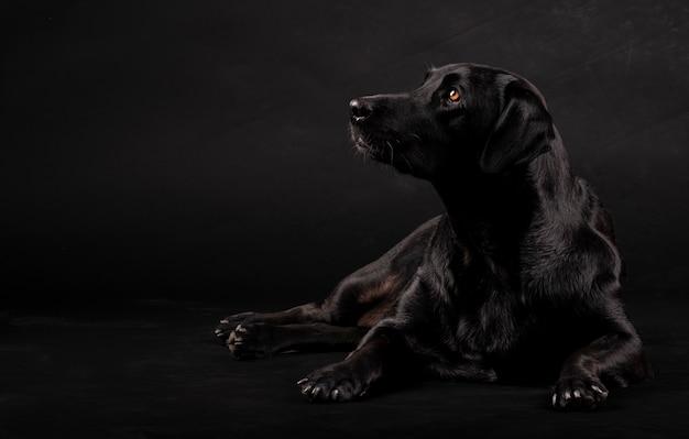 Cão labrador preto sentado no chão e olhando para o lado