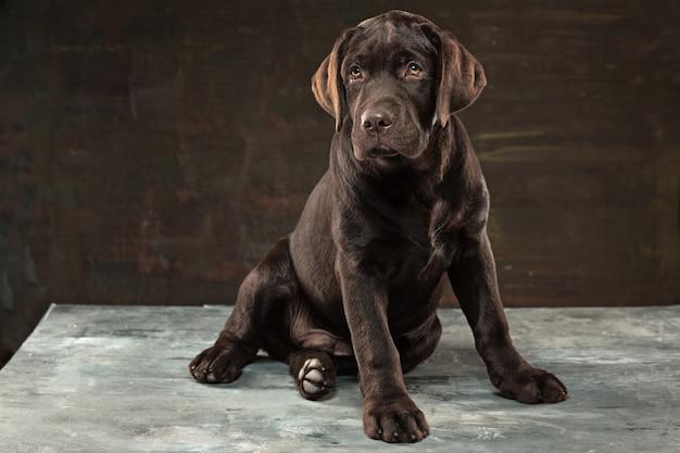 Cão labrador preto tomado contra um fundo escuro.