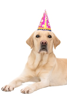 Cão labrador retriever bonito em um aniversário boné