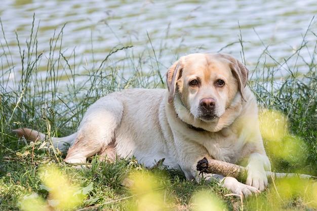 Cão labrador retriever. cão de caça perto do lago.