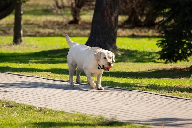 Cão labrador retriever com bola