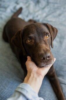 Cão labrador retriever de chocolate fofo anos na cama