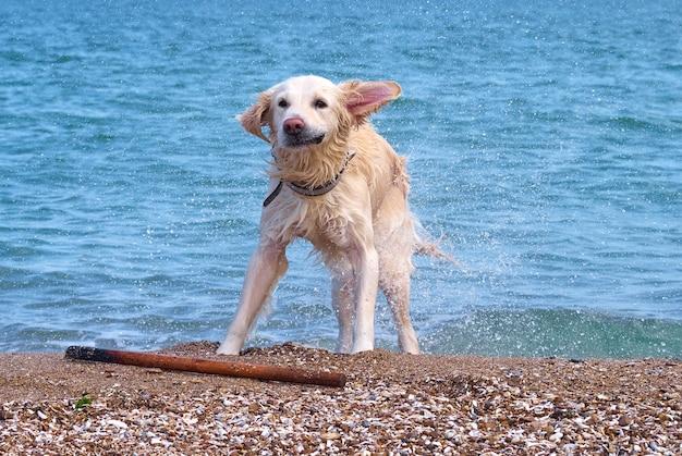 Cão labrador retriever dourado branco na praia