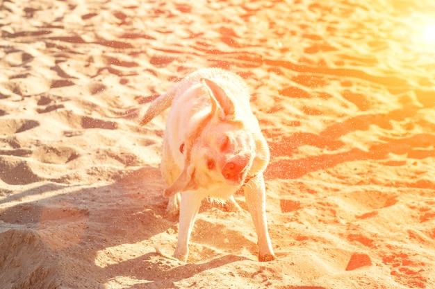 Cão labrador retriever na praia labrador sacudindo o reflexo do sol na água