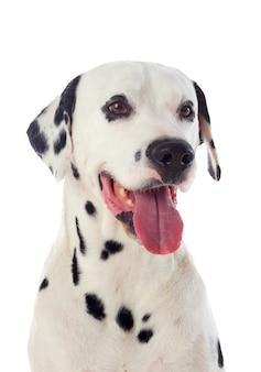 Cão lindo dálmata