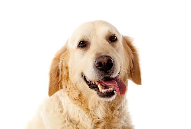 Cão lindo golden retriever