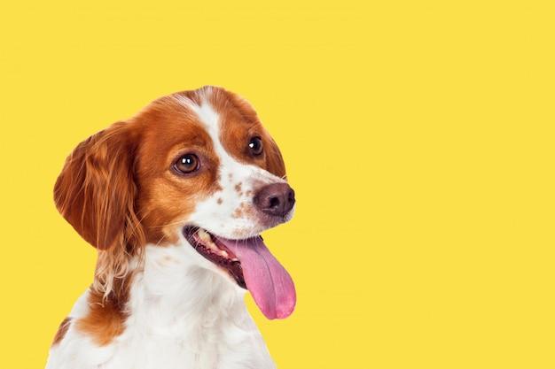 Cão lindo terrier em um fundo amarelo