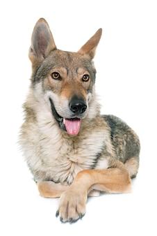 Cão lobo checoslovaco