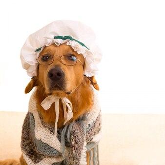 Cão lobo vestido de vovó golden retriever