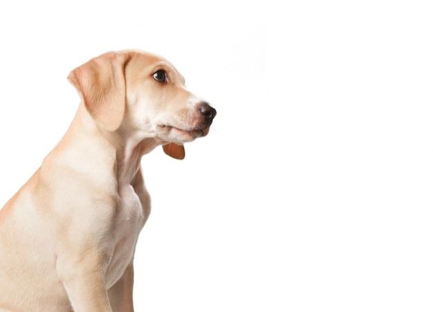 Cão loira de cabelos curtos com a boca fechada