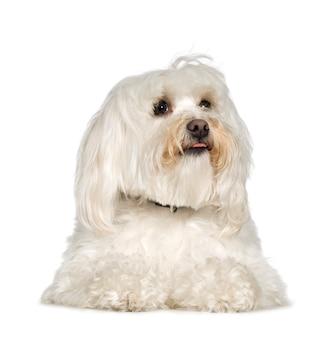 Cão maltês com 2 anos. retrato de cachorro isolado